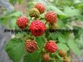 树莓种苗 2
