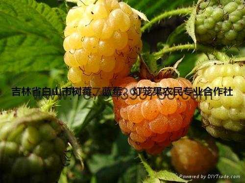 树莓种苗 3