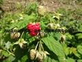 树莓种苗 4