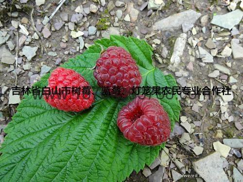 树莓种苗 5