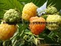 红树莓种苗 3
