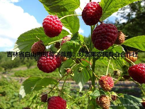 红树莓种苗 2