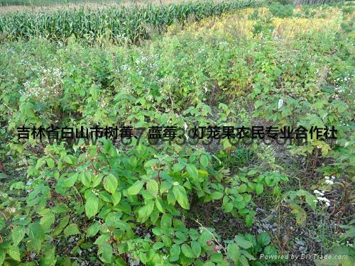 红树莓种苗 1
