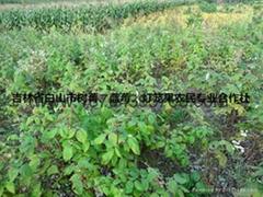 红树莓种苗