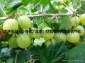 灯笼果种苗 2