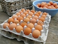Eco-friendly Waste Paper Pulp Molded Egg