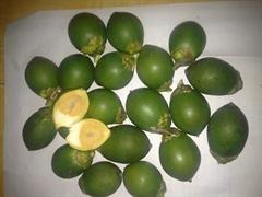 Betel Nut - Dried - Fresh