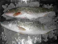 Frozen Red Drum Fish