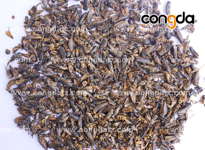 dried cricket