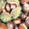 fresh chestnut 1