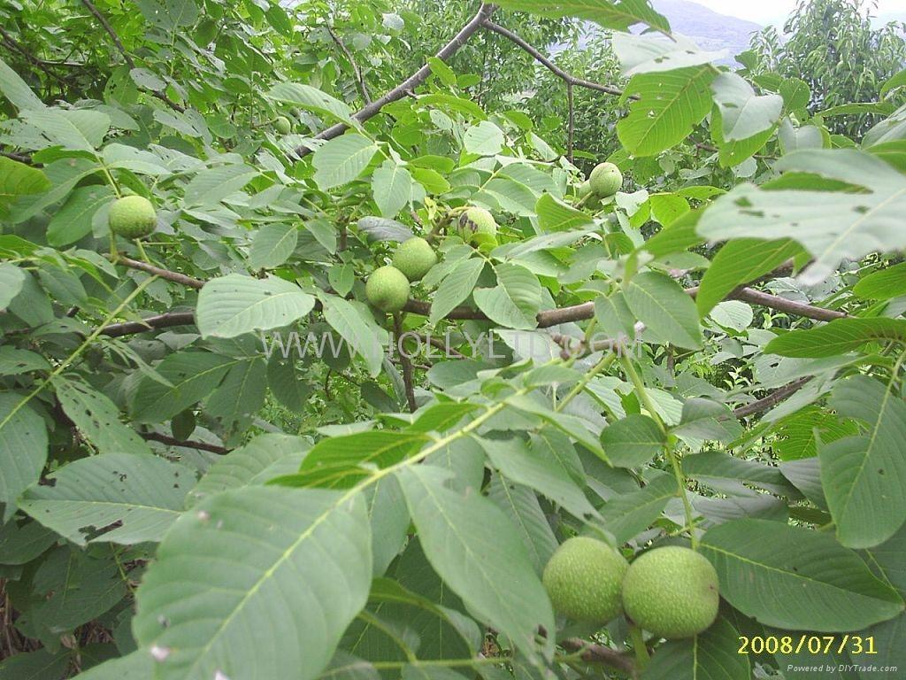 walnut kernels - LH 2