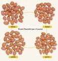 raw peanut kernels round shape