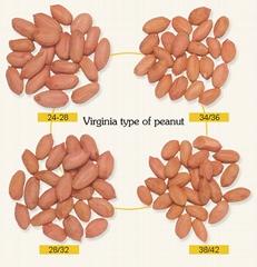 raw peanut kernels long