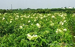 金花葵种子