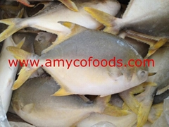 Golden Pompano High Quality good price