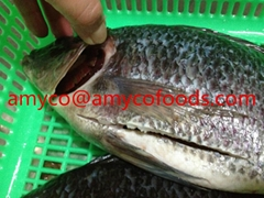 Tilapia fish whole round or GS from professional producer in China