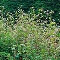 Buckwheat extract 2