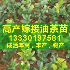 湖北省嫁接高產油茶樹苗價格是多少錢一棵 1