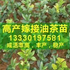 湖北省嫁接高產油茶樹苗價格是多少錢一棵