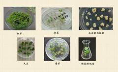 植物遗传转化