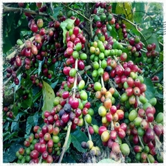 2014 Crop arabica coffee bean