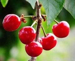 針葉櫻桃提取物含17% 維生素