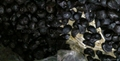 black garlic clove