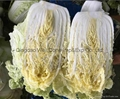 fresh celery cabbage 2