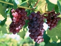 Grape Seed Extract 3