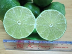 Fresh Seedless Lime from Viet Nam