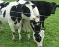 Grassland Garden Cattle Fence 2