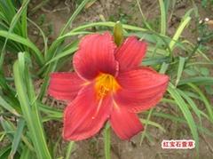 紅寶石萱草