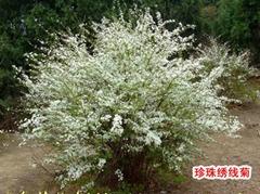 珍珠繡線菊