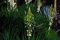 Yucca Schidigera Extract