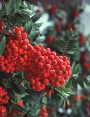 Sobus pohuashanensis/ Chokeberry Extract anthocyanin