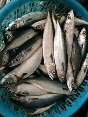 sea frozen pacific mackerel