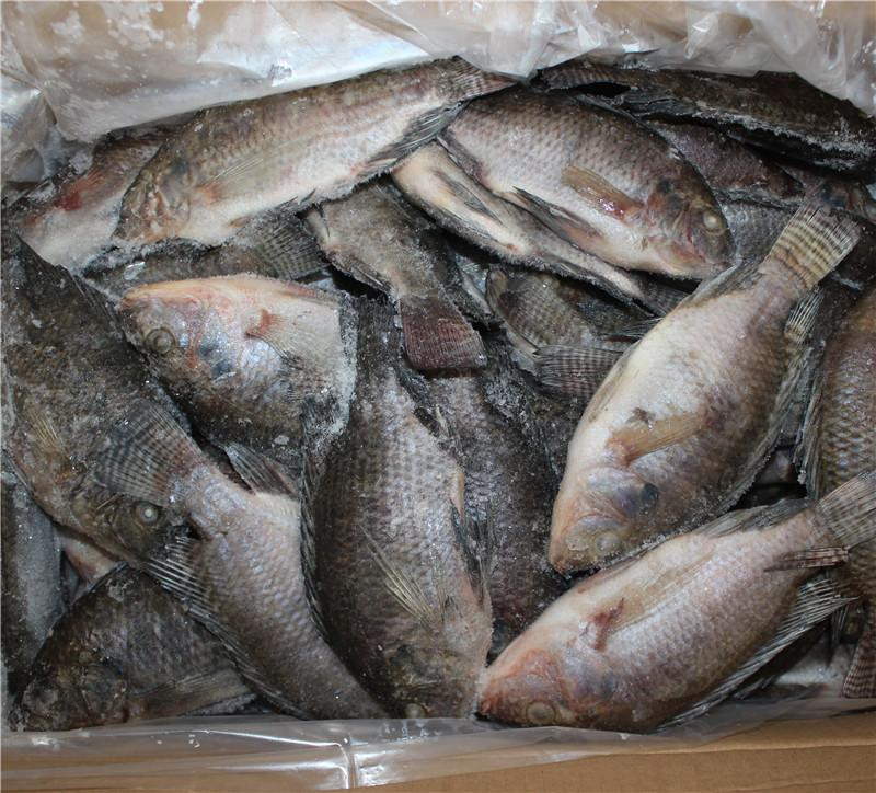 Chinese Tilapia Factory Whole Round 200