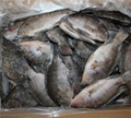chinese tilapia factory whole round