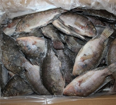 chinese tilapia factory whole round 200-300g