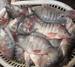 chinese tilapia factory whole round 300-500g