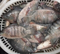 chinese tilapia factory whole round 300-500g 2