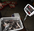 chinese tilapia factory whole round 300-500g 3