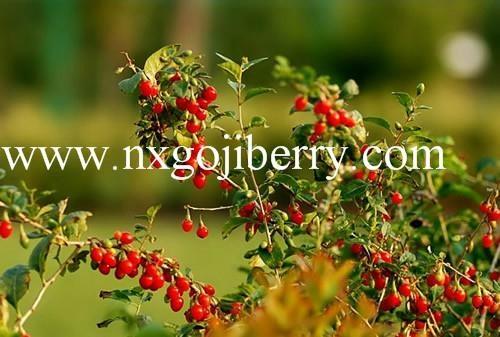 Dried Goji Berry Supply from Ningxia Zhengyuan 3