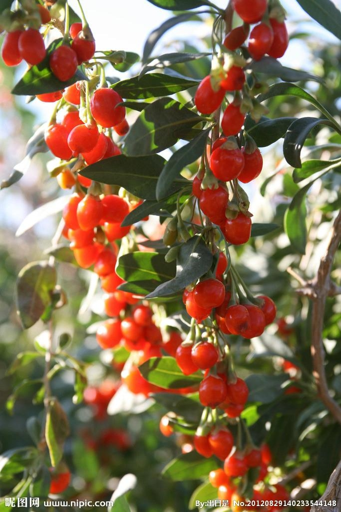 Goji Berry Supply from Ningxia Zhengyuan  2