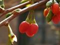 Dried Goji Berry Supply from Ningxia China 420pcs/50g 2