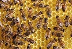 廠家直供蜜蜂用啤酒酵母粉山東酵母粉