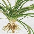 Safed Musli - Chlorophytum borivillum