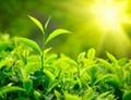 Green Tea - Camellia sinensis 1