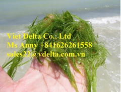 HIGH QUALITY DARK GREEN SEAWEED POWDER (