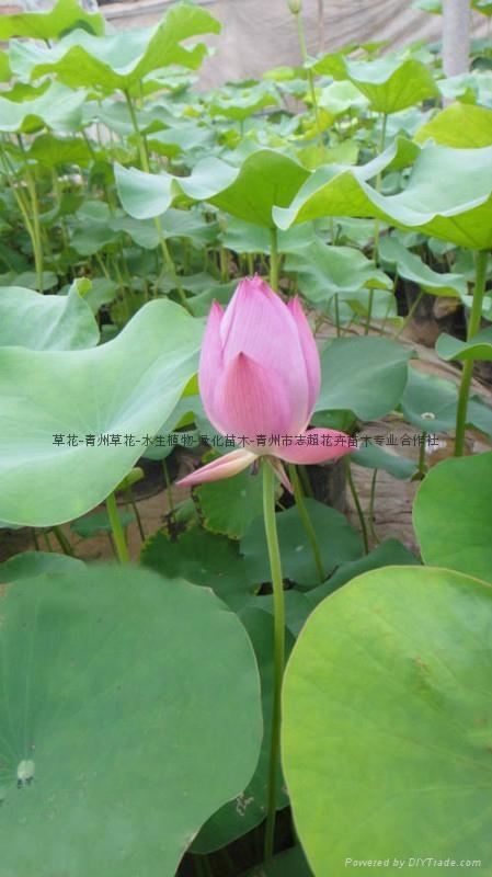 水生植物荷花 1